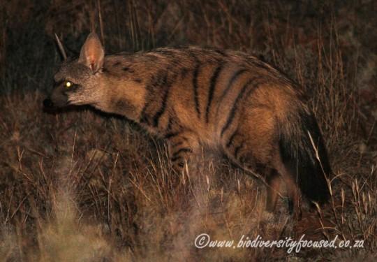 Aardwolf (Proteles cristatus)