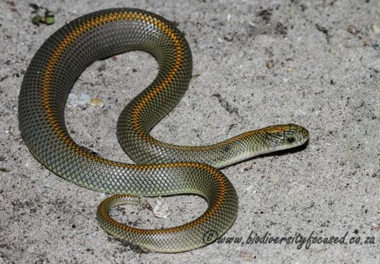 Aurora Snake (Lamprophis aurora)