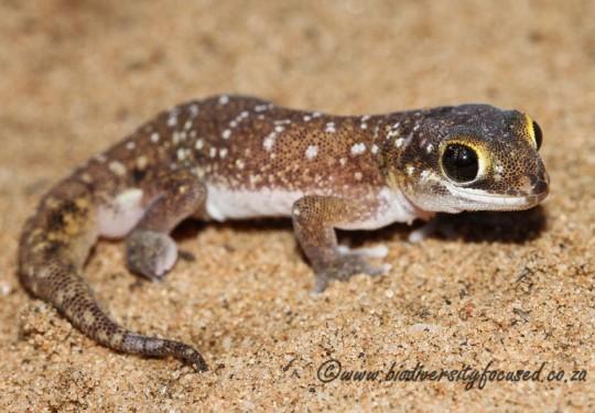Austens Gecko (Pachydactylus austeni)