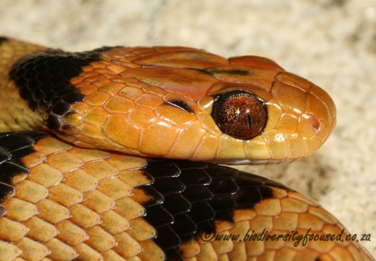Beetzs Tiger Snake (Telescopus beetzii)