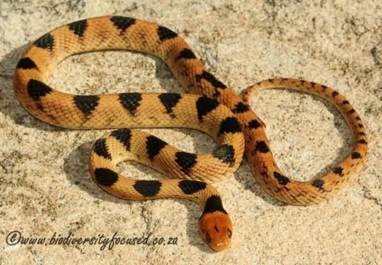 Beetzs Tiger Snake (Telescopus beetzii)
