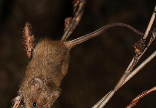 Brants Climbing Mouse (Dendromus mesomelas)
