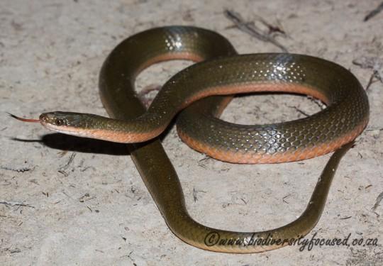 Brown Water Snake (Lycodonomorphus rufulus)