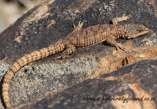 Campbells Girdled Lizard (Cordylus campbelli)