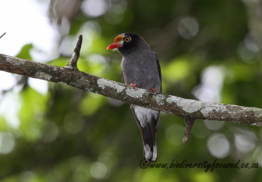 Chestnut-fronted Helmet-Shrike (Prionops scopifrons)