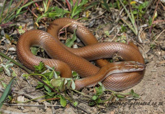 Common House Snake (Boaedon capensis)