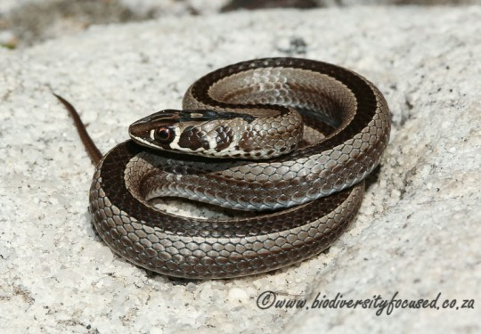 Cross-marked Grass Snake (Psammophis crucifer)