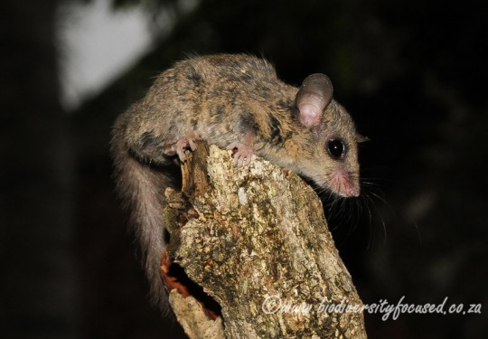 Small-eared Dormouse (Graphiurus microtis)