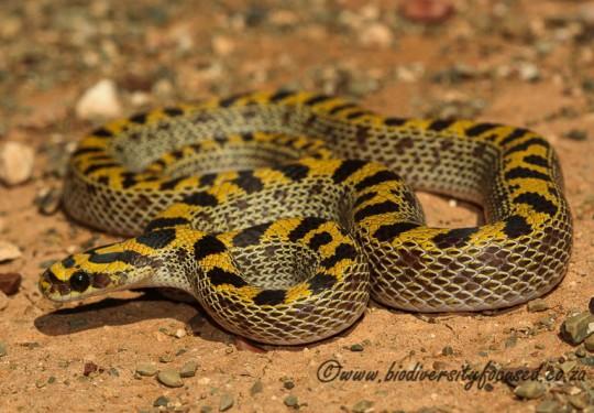 Fisks Snake (Lamprophis fiskii)