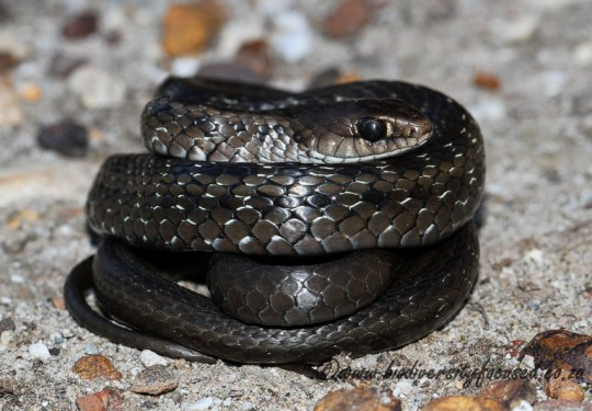 Many-spotted Snake (Amplorhinus multimaculatus)