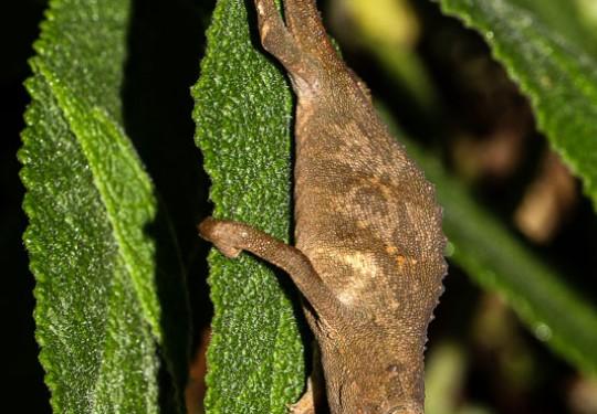 Marshalls African Leaf Chameleon (Rhampholeon marshalli)