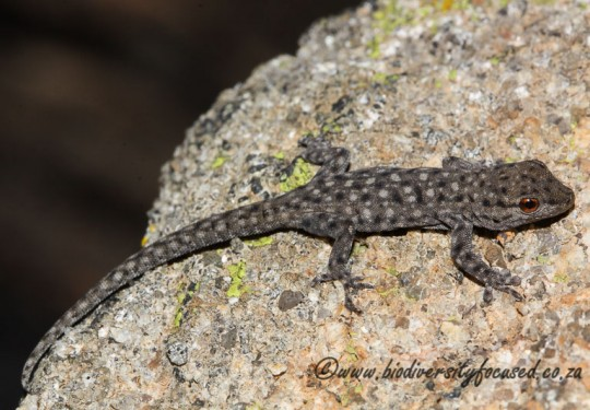Namaqua Day Gecko (Phelsuma ocellata)