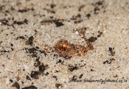Namaqua Dwarf Adder (Bitis schneideri)