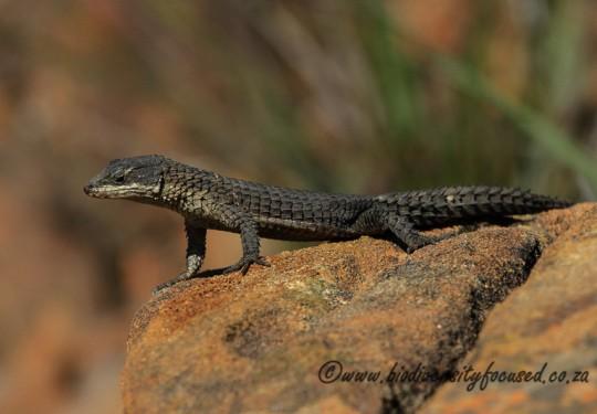 Oelofsens Girdled Lizard (Cordylus oelofseni)