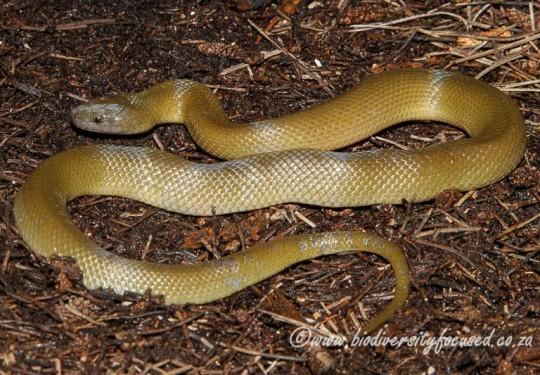 Olive Ground Snake (Lycodonomorphus inornatus)