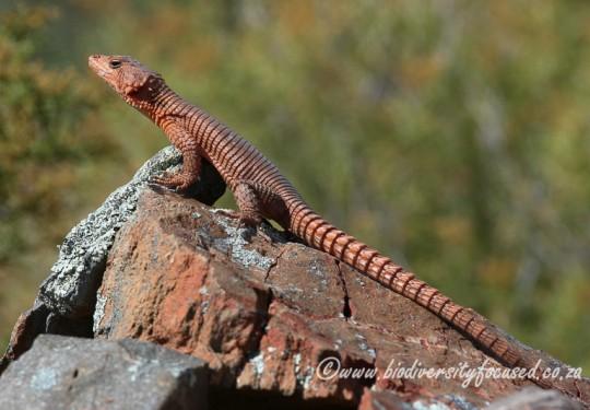 Southern Karusa Lizard (Karusasaurus polyzonus)