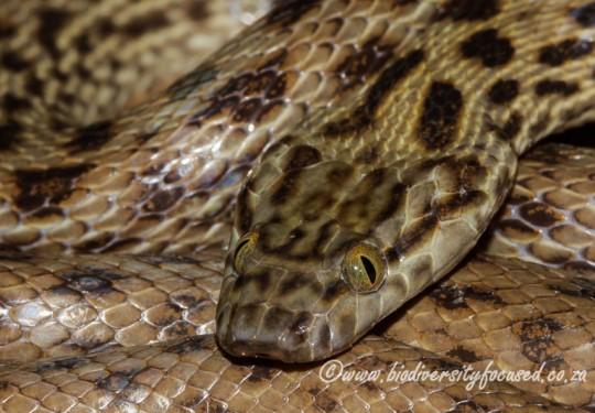 Spotted Rock Snake (Lamprophis guttatus)