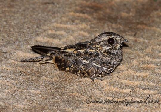 Square-tailed Nightjar (Caprimulgus fossii)
