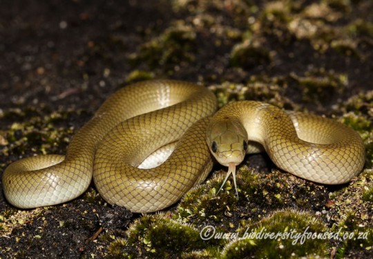 Yellow-bellied Snake (Lamprophis fuscus)