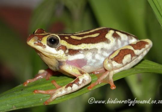 Angolan Reed Frog (Hyperolius parallelus)