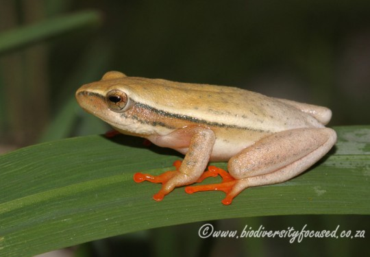 Arum Lily Frog (Hyperolius horstockii)