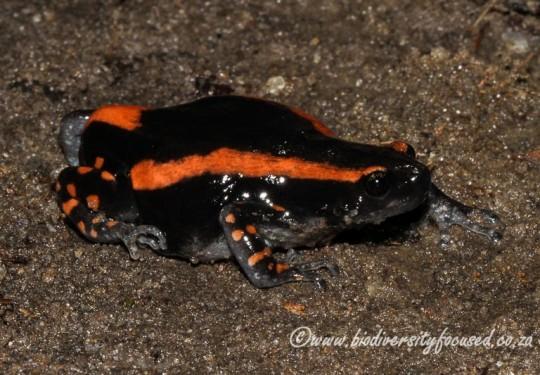 Banded Rubber Frog (Phrynomantis bifasciatus)