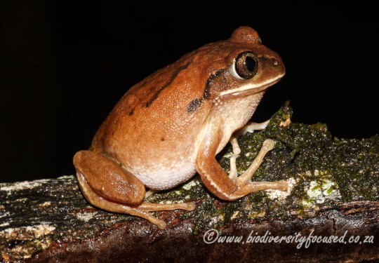 Brown-backed Tree Frog (Leptopelis mossambicus)