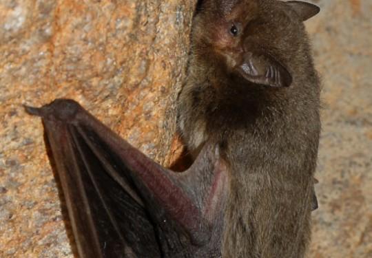 Cape Serotine Bat (Neoromicia capensis)