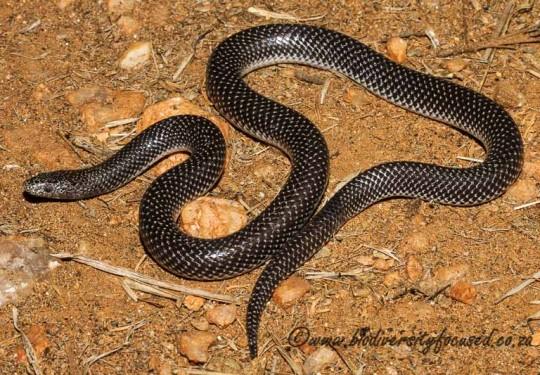 Cape Wolf Snake (Lycophidion capense capense)