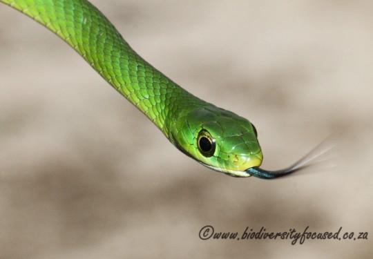 Green Water Snake (Philothamnus hoplogaster)