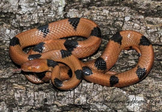 Eastern Tiger Snake (Telescopus semiannulatus semiannulatus)