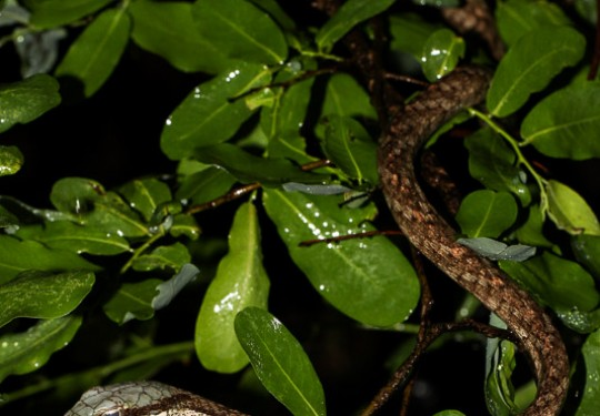 Eastern Twig Snake (Thelotornis mossambicanus)
