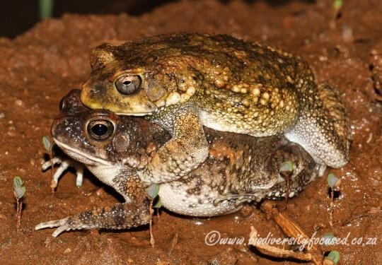 Flat-backed Toads in amplexus (Sclerophrys pusilla)
