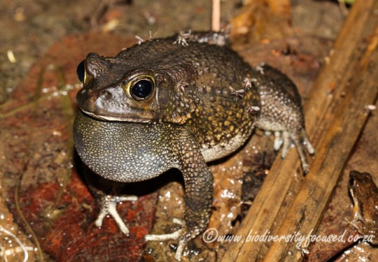 Flat-backed Toad (Sclerophrys pusilla)