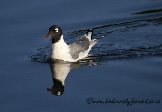 Franklins Gull (Larus pipixcan)