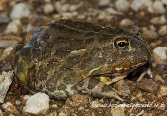 Giant Bullfrog (Pyxicephalus adspersus)