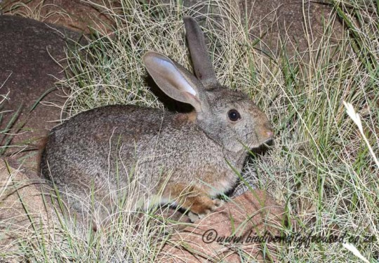 Hewitts Red Rock Rabbit (Pronolagus saundersiae)