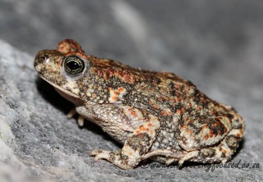 Hoeschs Pygmy Toad (Poyntonophrynus hoeschi)