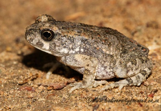 Kavango Pygmy Toad (Poyntonophrynus kavangensis)