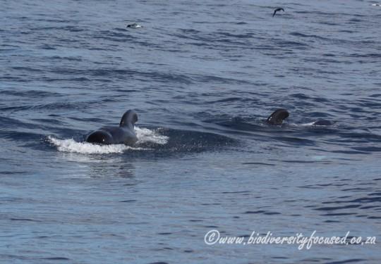 Long-finned Pilot Whale (Globicephala melas)