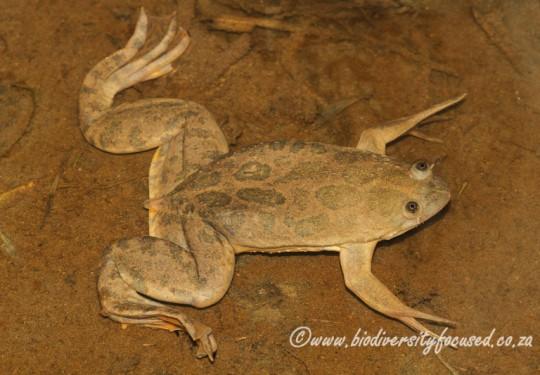 Mullers Platanna (Xenopus muelleri)