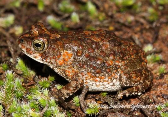 Northern Pygmy Toad (Poyntonophrynus fenoulheti)