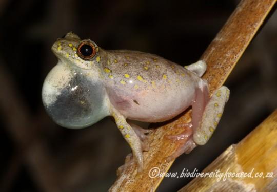 Painted Reed Frog (Hyperolius marmoratus verrucosus)