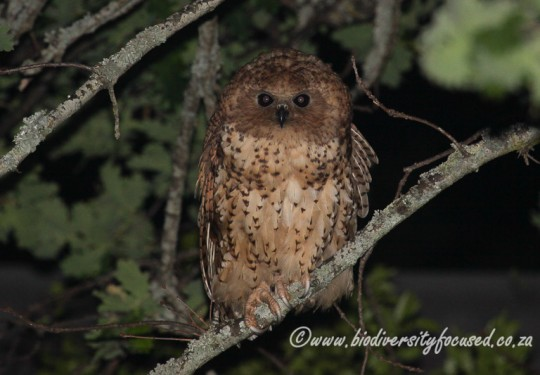 Pels Fishing Owl (Scotopelia peli)