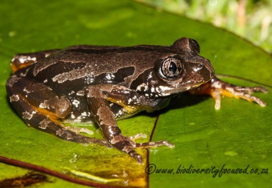 Rattling Frog (Semnodactylus wealii)