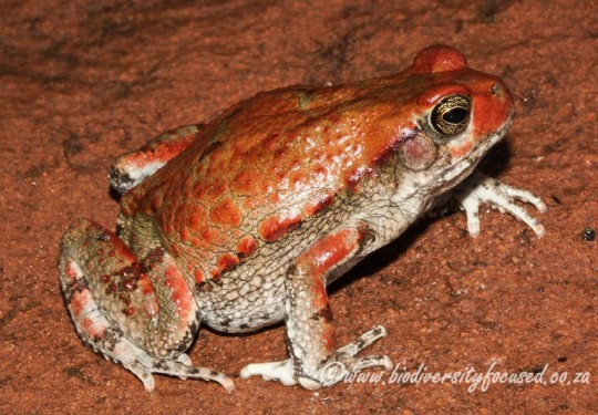 Red Toad (Schismaderma carens)
