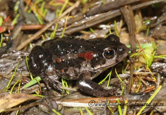 Roses Mountain Toadlet (Capensibufo rosei)