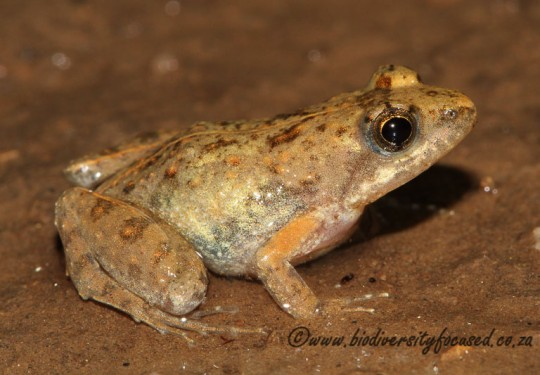 Small Puddle Frog (Phrynobatrachus parvulus)