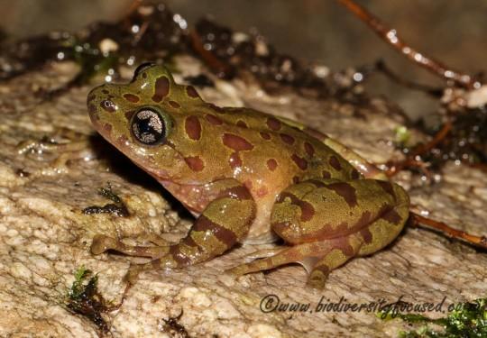 Southern Ghost Frog (Heleophryne regis)