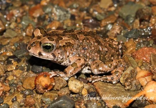 Karoo Toad (Vandijkophrynus gariepensis)